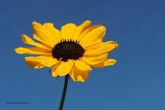 bloem zon