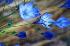 #bloem blauw#01