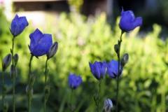 bloem blauw#04