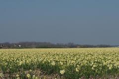 bloem geel#07