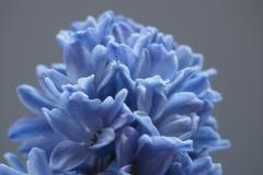 bloem blauw#02