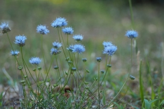 bloem blauw#06