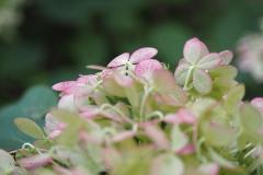 hortensia#18 (20190828) flora