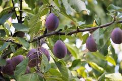 vrucht#18
