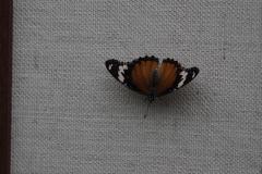 vlinder#19