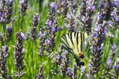 vlinder#13