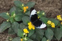 vlinder#08