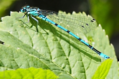 libelle#07a (20200527) insecten