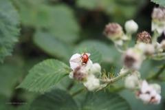 lieveheersbeestje#02 (20200627) insecten