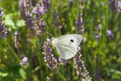 vlinder#20 (20180710) insecten