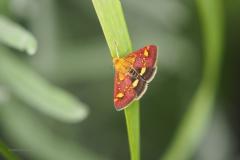 nachtvlinder#08 (20200717)  insecten