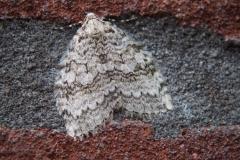nachtvlinder#06 (20191104) insecten