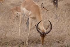 antilope#04