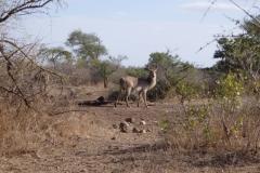 antilope#05