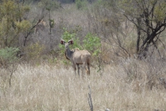 antilope#03
