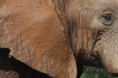 olifant#11