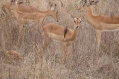 antilope#09