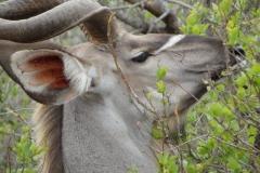 antilope#10