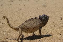 kameleon#(20121202) fauna-overig