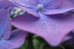 hortensia#(20120720) flora