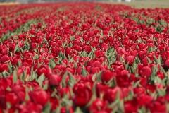 tulpen#(20190416) flora