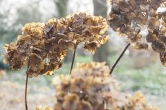 hortensia#(20180206) flora