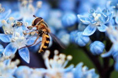 hortensia#(20170706)c flora