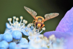 hortensia#(20170706)b flora
