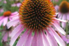 zonnehoed#(20130831)a flora