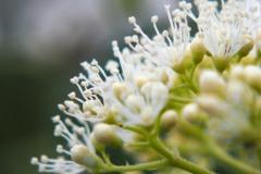 hortensia#(20170612) flora