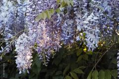blauwe regen#(20190428) flora