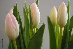 tulpen#(20190328) flora