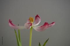 tulpen#(20190406) flora