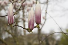 magnolia#(20190326)