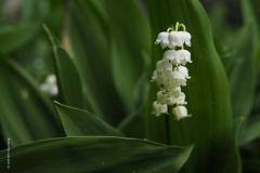 lelietjevandalen#(20190428)a flora