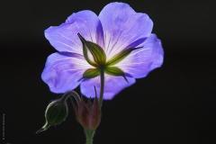 geranium#(20190518) flora