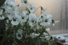 viooltje#(20191212) flora