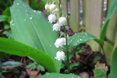 lelietjevandalen#(20130517) flora