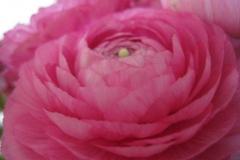 pioenroos#(20130526) flora