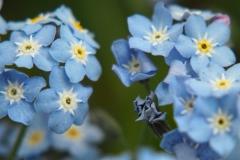 vergeet-mij-nietje#(20190423) flora