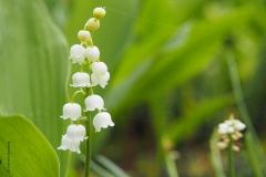 lelietjevandalen#(20190428)b flora