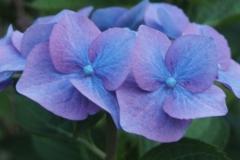 hortensia#(20160705) flora