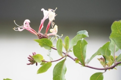 kamperfoelie#(20160716) flora