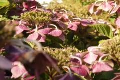 hortensia#(20140824) flora