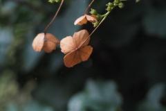 hortensia#(20160905) flora