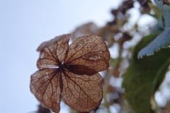hortensia#(20141004) flora