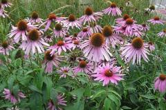 zonnehoed#(20130831) flora