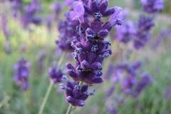 lavendel#(20130713)