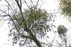 maretak#(20210103) flora