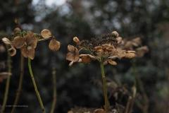 hortensia#(20210103) flora
